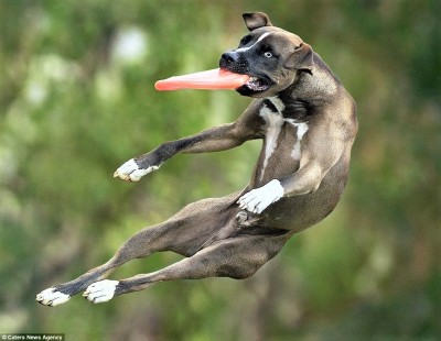 Елитни кучета ще дефилират, танцуват и ловят фризби в Бургас