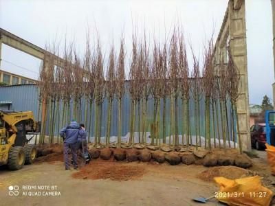 Пристигнаха първите поръчани от Общината дървета от Холандия, започва засаждането им по няколко големи улици